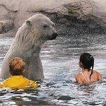 В канадском заповеднике детям разрешили плавать с белыми медведями