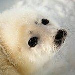 В гости к новорожденным тюленям