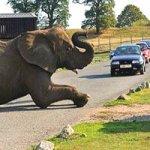 Задремавший слон устроил пробку в сафари-парке