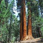 Падение секвойи закрыло тропу гигантских деревьев