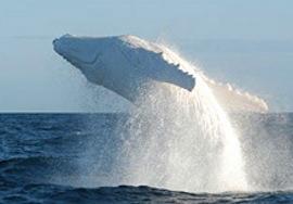 Говорящий кит