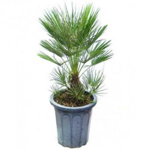 Арекова пальма- уход и содержание в домашних условиях.